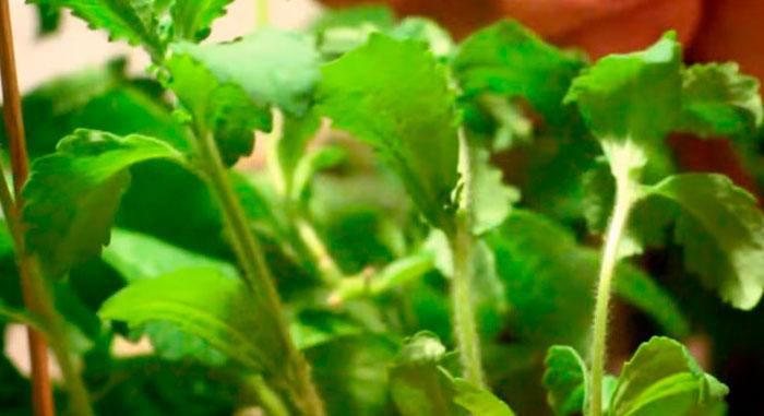 травы при псориазе